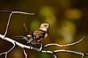 YellowRumpedWarblerHamptonVA-2014-sjs-007