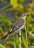 YellowRumpedWarbler-LAWD-2-3-18-SJS-008