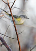 AmericanRedstart(female)-EmeraldaMarsh-10-2-20-sjs-04