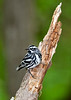 Black&WhiteWarbler-SenecaRocks-5-11-19-SJS-002