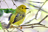 YellowWarbler-MM-5-15-17-SJS-005