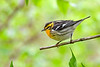 BlackburnianWarbler-MageeMarsh-5-12-19-SJS-001