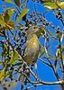PineWarbler-SawgrassPreserveFL-11-17-18-SJS-003