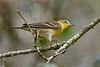 PineWarbler-EmeraldaMarsh-10-5-20-sjs-01