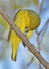 YellowWarbler-LAWD-11-9-18-SJS-001
