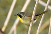 CommonYellowThroat-LAWD-1-13-18-SJS-002