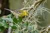 PineWarbler-LYE-10-29-19-SJS-001