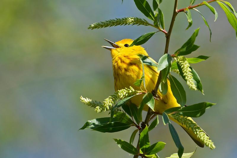 YellowWarbler-MageeMarsh-5-7-18-SJS-002