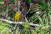 PrairieWarbler-OcalaNF-9-16-18-SJS-002