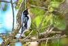 BlackThroatedBlueWarbler(m)-SawgrassPreserve-5-2-20-SJS-10