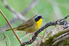 CommonYellowThroat-CanaanValley-5-11-19-SJS-001