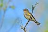 Yellow-RumpedWarbler-OcalaNF-11-14-18-SJS-006