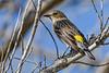 YellowRumpedWarbler-MerrittIslandNWR-12-29-20-sjs-001