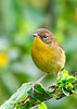 CommonYellowThroat-EmeraldaMarsh-10-9-19-SJS-005