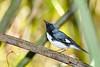 BlackThroatedBlueWarbler(m)-SawgrassPreserve-5-2-20-SJS-05