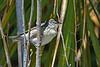 BlackpollWarbler(female)-FortDeSoto-4-22-19-SJS-001