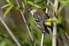 YellowRumpedWarbler-LAWD-Fl-3-17-17-SJS-006