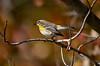 YellowRumpedWarblerHamptonVA-2014-sjs-004