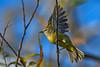 OrangeCrownedWarbler-EmeraldaMarsh-11-7-19-SJS-002