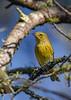 PineWarbler-OcalaNF-10-12-20-sjs-01