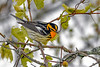 BlackburianWarbler-MageeMarsh-5-13-19-SJS-002