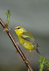 Blue-wingedWarbler-005