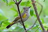 AmericanRedstart-Female-MM-5-17-17-SJS-001