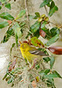PineWarbler-LakeYale-2-22-17-SJS-003