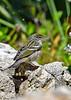 BlackpollWarbler(female)-FortDeSoto-4-22-19-SJS-002