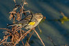 YellowRumpedWarbler-LAWD-3-7-20-SJS-001