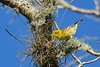 PineWarbler-EmeraldaMarsh-11-13-19-SJS-001
