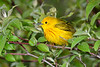 YellowWarbler-MageeMarsh-5-13-19-SJS-004