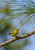 PineWarbler-OcalaNF-1-16-19-SJS-002
