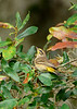PalmWarbler-LakeYaleEstates-2-28-17-SJS-003