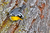 Yellow-ThroatedWarbler-LYE-FL-10-17-18-SJS-007