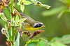CommonYellowThroat-EmeraldaMarsh-10-9-19-SJS-003