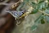 YellowThroatedWarbler-LYE-10-19-19-SJS-007