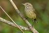 PalmWarbler-EmeraldaMarsh-10-25-19-SJS-002