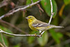 PineWarbler-EmeraldaMarsh 10-22-19-SJS-011