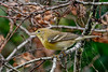 PineWarbler-EmeraldaMarsh 10-22-19-SJS-005