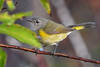 AmericanRedstart(female)-EmeraldaMarsh-10-2-20-sjs-02