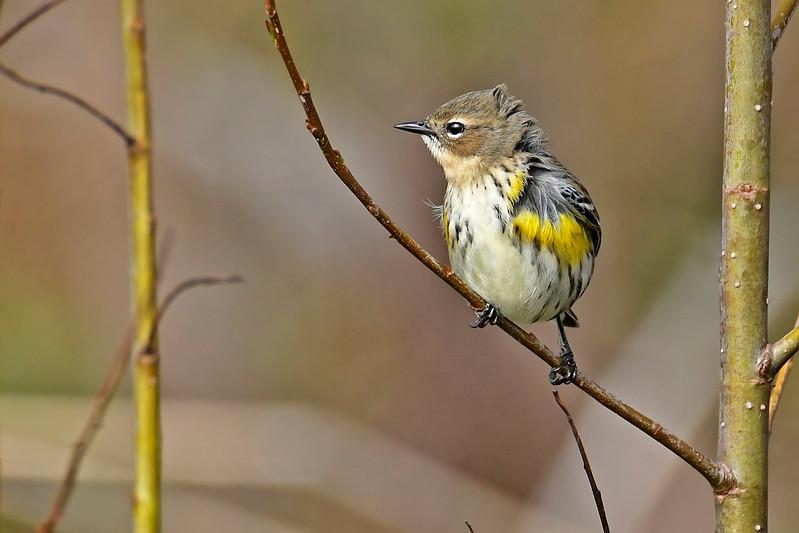 YellowRumpedWarbler-LAWD-2-3-18-SJS-005