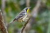 YellowThroatedWarbler-OcalaNF-8-7-20-sjs-001