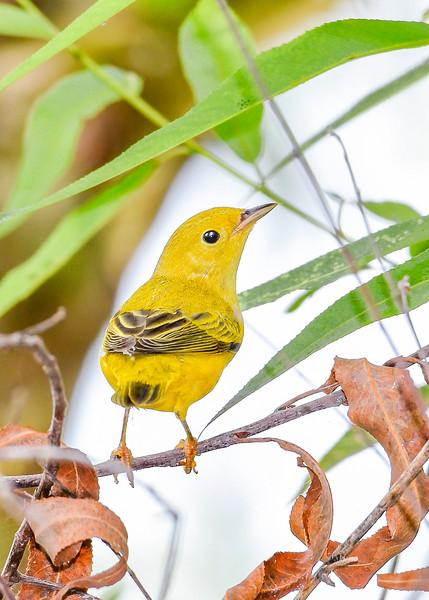 YellowWarbler-LAWD-8-17-19-SJS-007