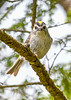 GoldenCrownedKinglet-BlackwaterFallsSP-5-9-19-SJS-002