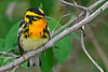 BlackburianWarbler-MageeMarsh-5-9-18-SJS-003