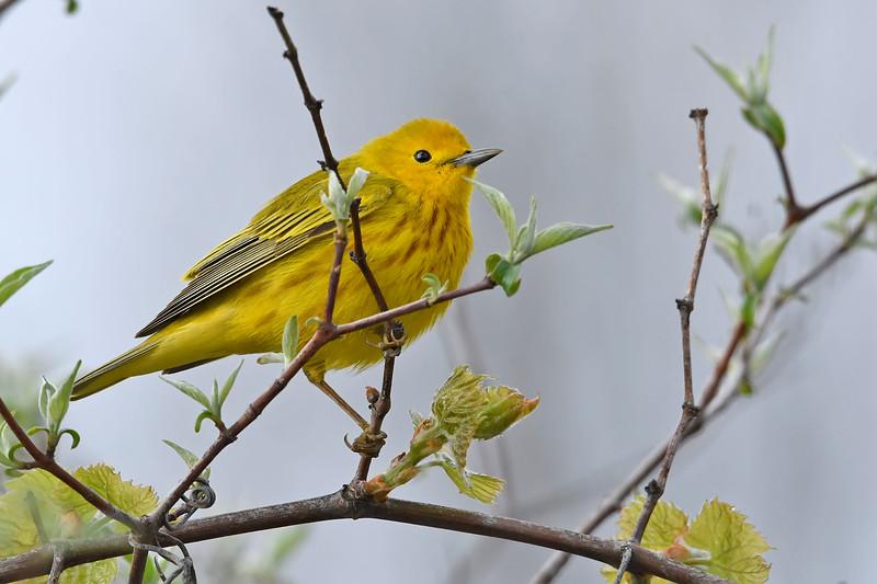 YellowWarbler-MageeMarsh-5-6-18-SJS-001
