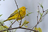 YellowWarbler-MageeMarsh-5-6-18-SJS-001