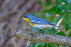 NorthernParula-LYE-3-25-19-SJS-004