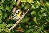 YellowThroatedWarbler-CRLeeParkFL-1-22-20-SJS-005